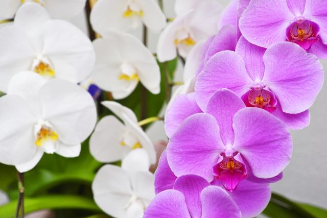 白とピンクの大輪の胡蝶蘭