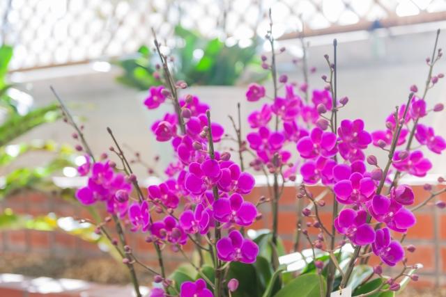ピンクの可愛いミニ胡蝶蘭