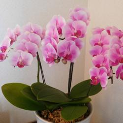 中輪の胡蝶蘭