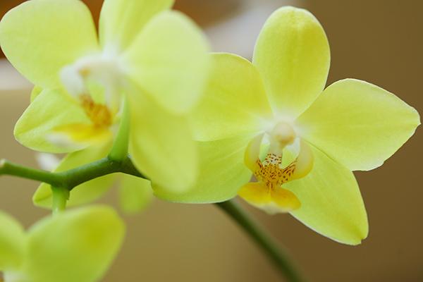 黄色のミニ胡蝶蘭