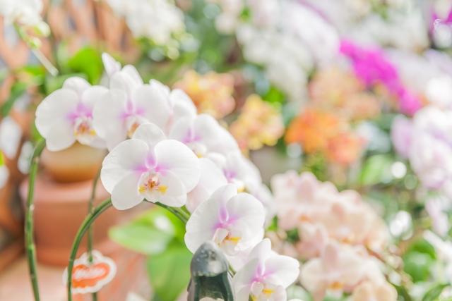 品質の良い胡蝶蘭