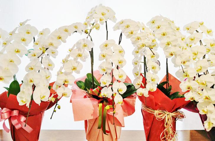 【最新版】胡蝶蘭の育て方|毎年咲かせる方法とネット通販で買うときのポイント