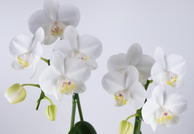 白のミニ胡蝶蘭