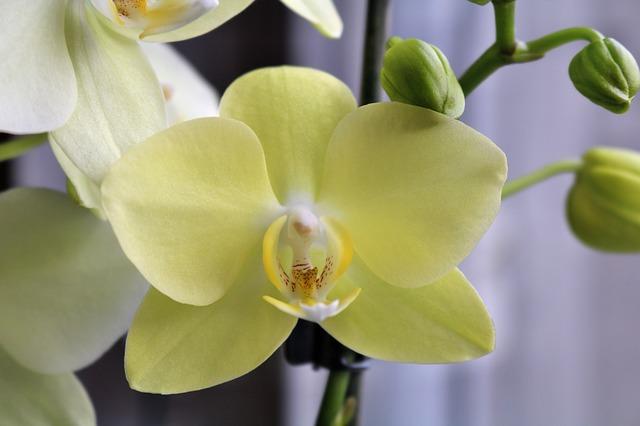 薄い黄色の胡蝶蘭